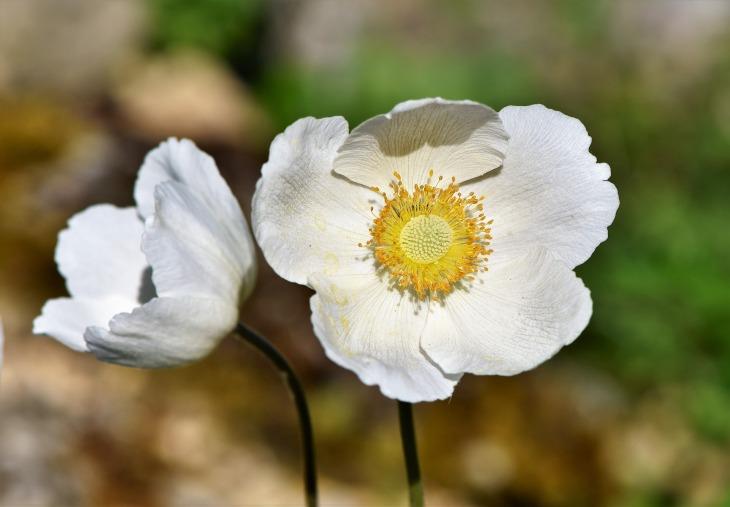 anemone-3431250_1920.jpg