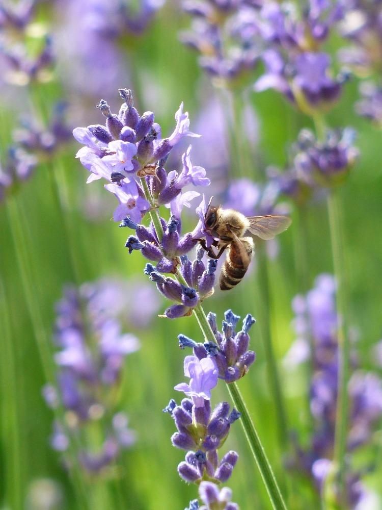 lavender-167789_1920