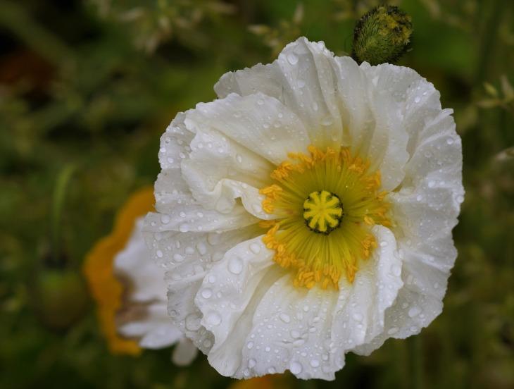 poppy-flower-1396914_1920.jpg