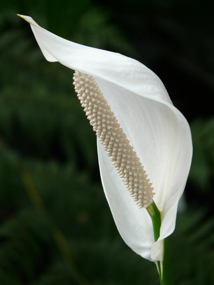 spathiphyllum-53063_1920