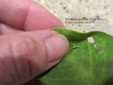 Newly hatched Monarch larva, © Carol Labuzzetta