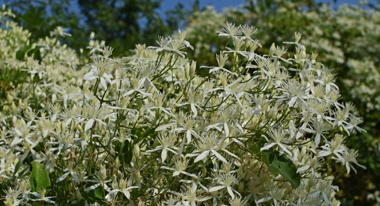 sweet-autumn-clematis-2660181_1920