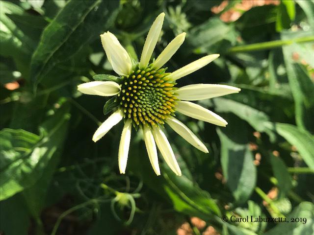 NewWhiteSwanConeflower5837