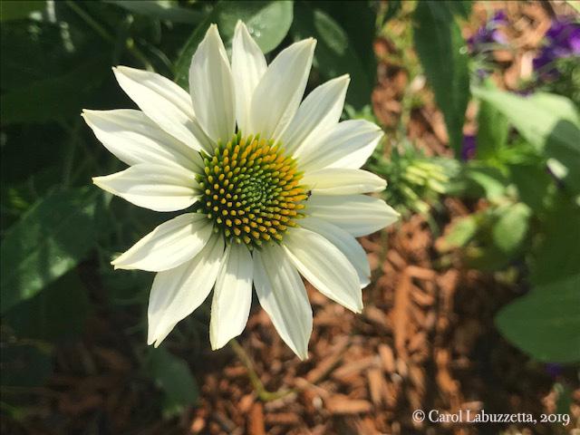 WhiteSwanConeflower5838