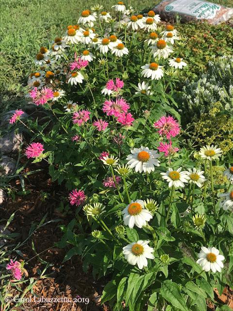 WhiteSwanConeflowerBergamot5823