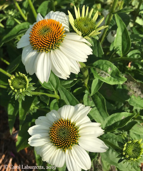 WhiteSwanConeflowers5822