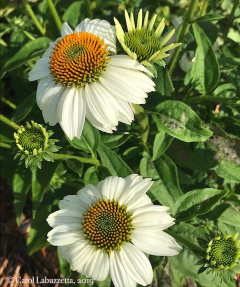 WhiteSwanConeflowers5822