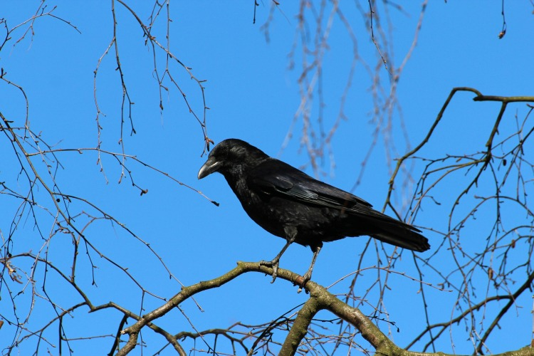 crow-284491_1920