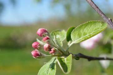 fruitbuds15