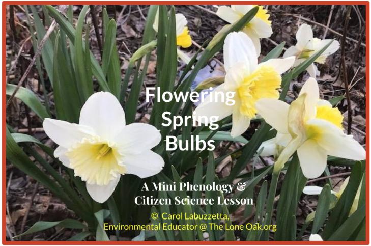 April 2020 Mini Lesson on Spring Flowering Bulbs. © C. Labuzzetta, 2020