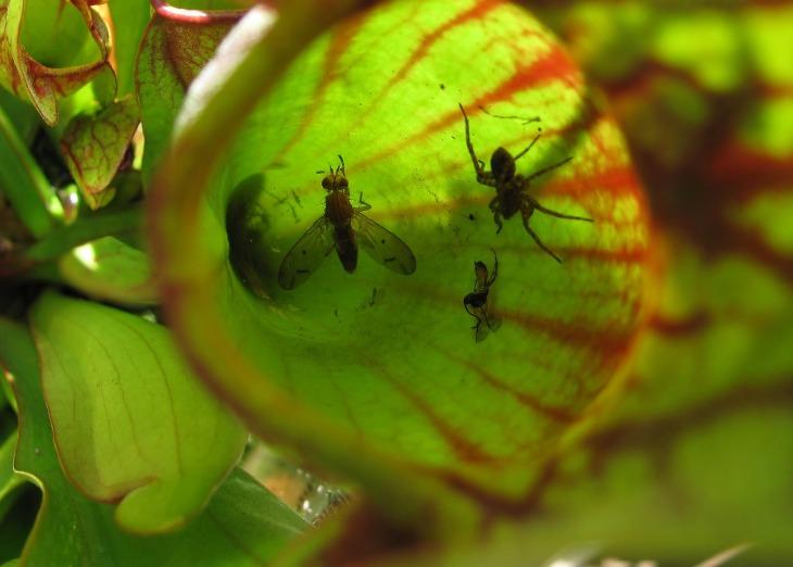 pitcher-plant-4065247_1920