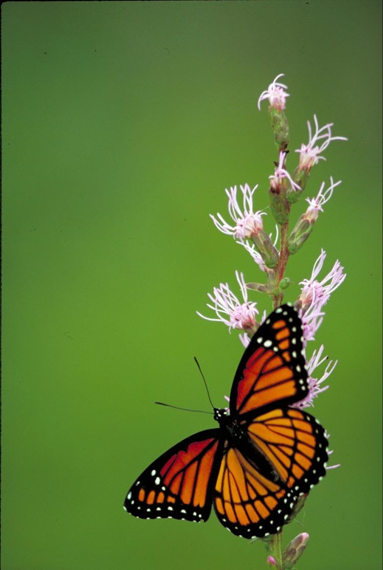 viceroy-butterfly-568795_1920